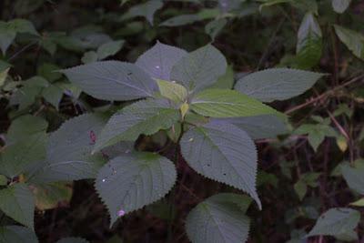 lipa-plant