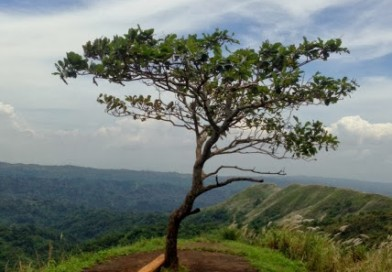Short essay: Reflections on a lonely tree